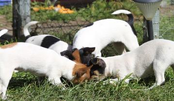 Mini Foxie Pups & Adults For Sale